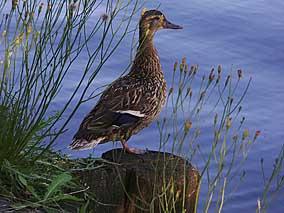 Beispielbild 'Ente' nach Farbraumkonvertierung